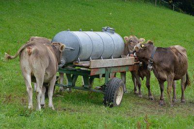 Kühe am Wasserfass auf der Weise